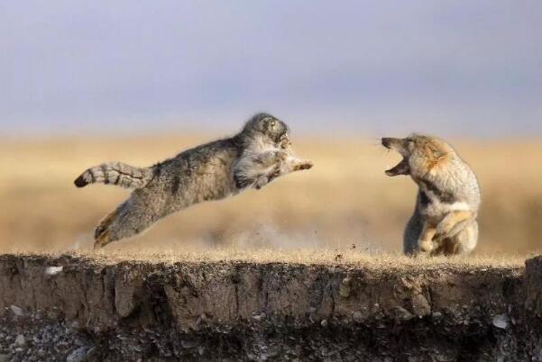明明是猫科为什么叫兔狲 突厥语的音译