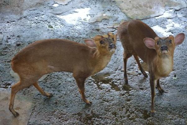 麂子是几级保护动物?盘点3大麂子的保护种类