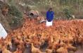 246只土鸡被吓死 都是烟花爆竹惹的祸